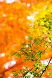 日本黄色,绿色和红槭的美好的秋天颜色 库存照片