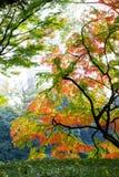 日本黄色,绿色和红槭的美好的秋天颜色 免版税库存照片