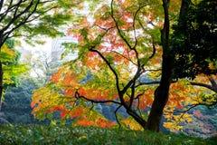日本黄色,绿色和红槭的美好的秋天颜色 免版税图库摄影