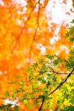 日本黄色,绿色和红槭的美好的秋天颜色 免版税库存图片