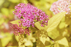 日本绣线菊类的植物 免版税库存照片