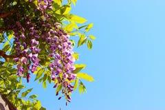日本紫藤 库存图片