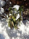 日本Aucuba在我多雪的有机庭院里 库存照片