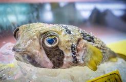 日本fugu鱼或河豚 免版税库存图片