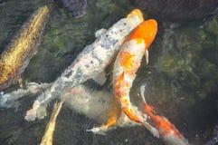 日本koi鲤鱼在寺庙池塘钓鱼 免版税库存照片