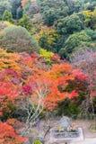 日本mapleleaves的美好的秋天颜色在树的,黄色 免版税库存图片