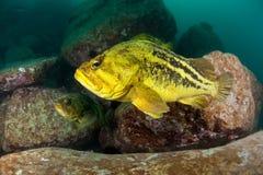 日本rockfishes在水之下的海运threestripe 免版税库存照片