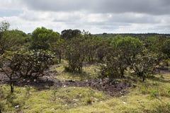 日横向毛里求斯山本质晴朗的木头 地方性植物在公园 库存照片