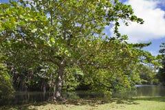 日横向毛里求斯山本质晴朗的木头 湖和热带树 图库摄影