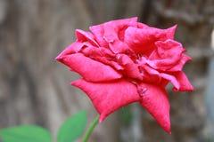 日红色玫瑰色s华伦泰 库存图片