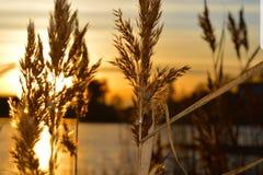日落低谷芦苇 库存图片