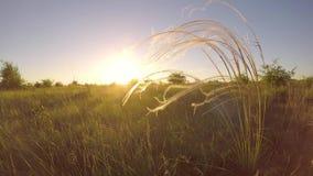 日落光的美丽的stipa植物 影视素材