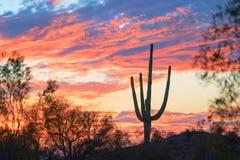 日落和柱仙人掌仙人掌在亚利桑那 免版税库存图片