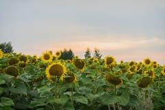 日落在一个农夫` s领域的夏天用开花的向日葵 在不同的题目的自然夏天背景,拷贝 免版税库存照片