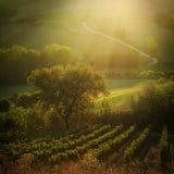 日落在一个葡萄园里在托斯卡纳意大利 库存照片