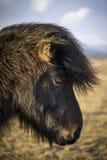 日落在与冰岛马的冬天 库存照片