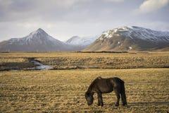 日落在与冰岛马的冬天 库存图片