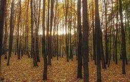 日落在森林里 免版税图库摄影