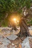 日落在橄榄树小树林里, Pag,克罗地亚海岛  库存照片
