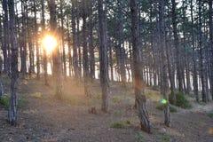 日落在海滩的一个杉木树丛里 库存照片