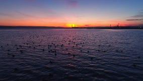 日落在湖的寄生虫飞行 游泳在水中的小鸭子 影视素材