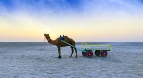 日落在Kutch,古杰雷特的了不起的兰恩的骆驼乘驾 库存照片