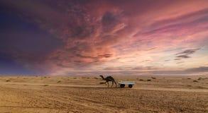 日落在Kutch,古杰雷特的了不起的兰恩的骆驼乘驾 库存图片