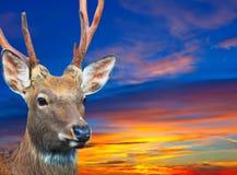 日落天空的Sika鹿 库存照片