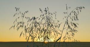 日落或黎明背景狂放的草本视图  垂直的摇摄 股票视频