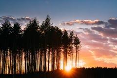 日落日出在杉木森林在晴朗的春天具球果森林阳光太阳光芒的太阳阳光下通过森林发光  库存照片