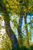 日落桦树 库存图片
