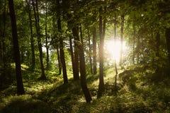 日落森林太阳光芒击穿树的上面 温暖的夏天日落 秀丽本质特异根源结构树 图库摄影