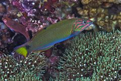 日落濑鱼在珊瑚礁的隆头鱼科类lutescens 库存照片