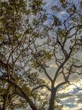 日落照亮橡木的冠 免版税库存照片