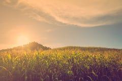 日落玉米小山 库存图片