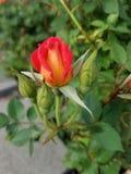 日落玫瑰花蕾 免版税库存图片