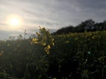 日落用油菜籽 免版税图库摄影