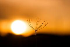 日落的光秃的母牛荷兰芹厂 免版税库存图片