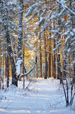 日落的冬天森林 免版税库存图片