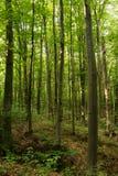 日落的山毛榉森林 图库摄影