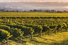 日落的新西兰葡萄园 免版税库存图片