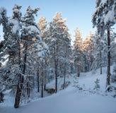 日落的时期的斯诺伊森林 免版税库存照片
