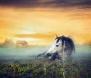 日落的晚上牧场地与休息在雾的马 免版税库存图片