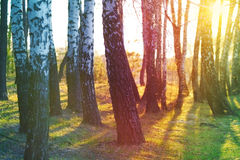 日落的桦树树丛 库存图片