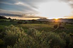 日落的橄榄色的果树园 库存照片