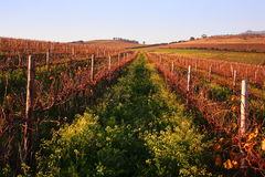 日落的秋天葡萄园 库存照片