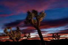 日落的约书亚树森林 图库摄影