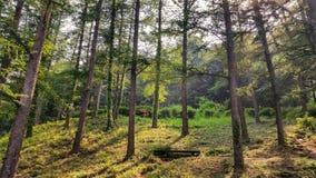 日落的美丽的绿色杉木森林 免版税图库摄影