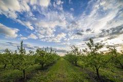 日落的苹果树 免版税库存照片