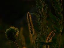 日落的草本植物 免版税库存照片